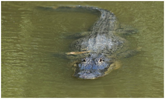 Alligator getty
