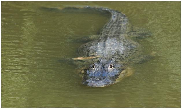 Alligator getty